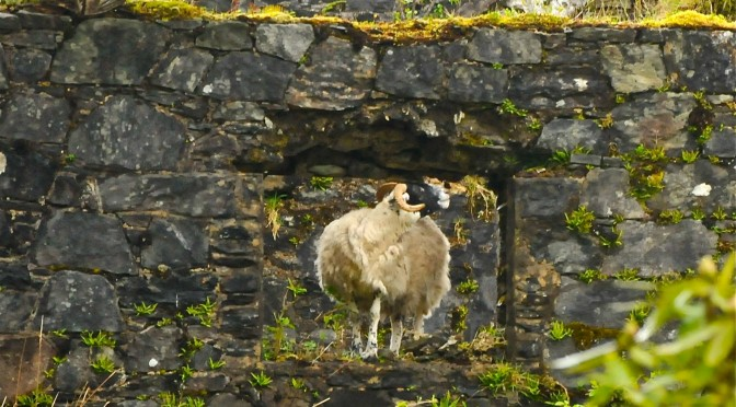 Sheep inna windae: @thatpowanwoman takes photo of the week @DunansCastle