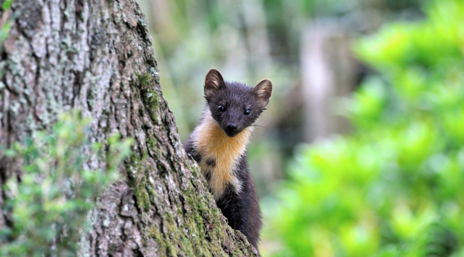 Extraordinary Ecosystem change: Can Pine Martens control Grey Squirrels to the benefit of the Reds?